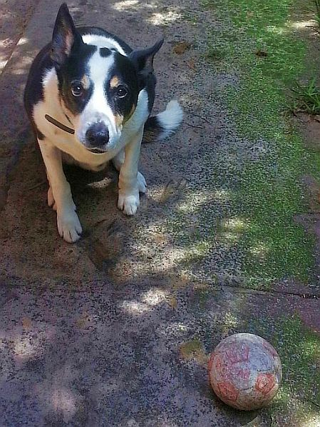 dog unimpressed by soccer ball