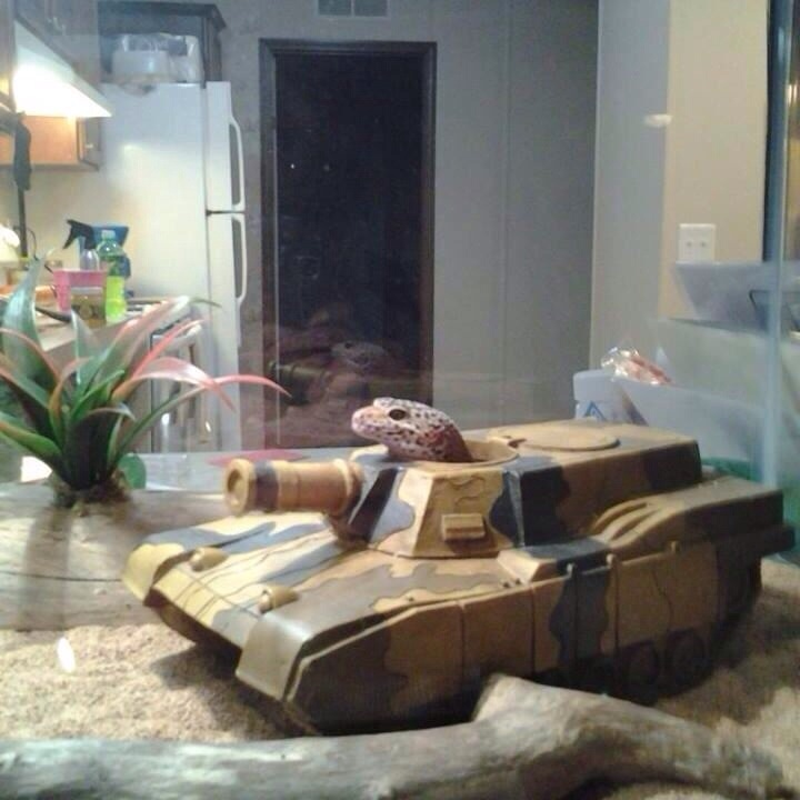 gecko in tank